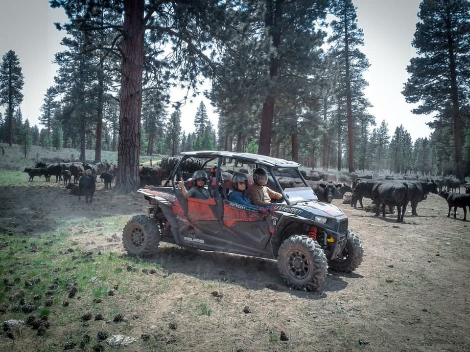 RZR in the middle of cattle