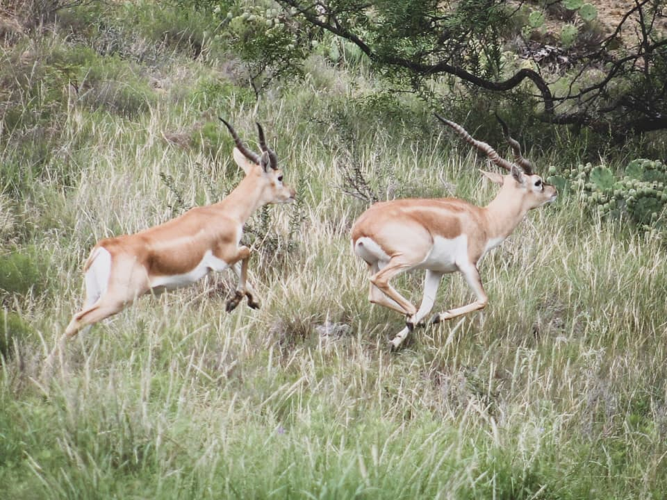 Antelope at Greystone Castle Sporting Club