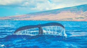 whale splashing it's tail out of the ocean off he coast of Hawaii